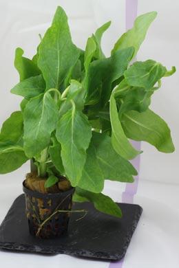 Gymnocoronis spilanthoides (Falscher Wasserfreund)