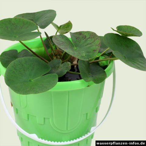 Nymphaea × marliacea
