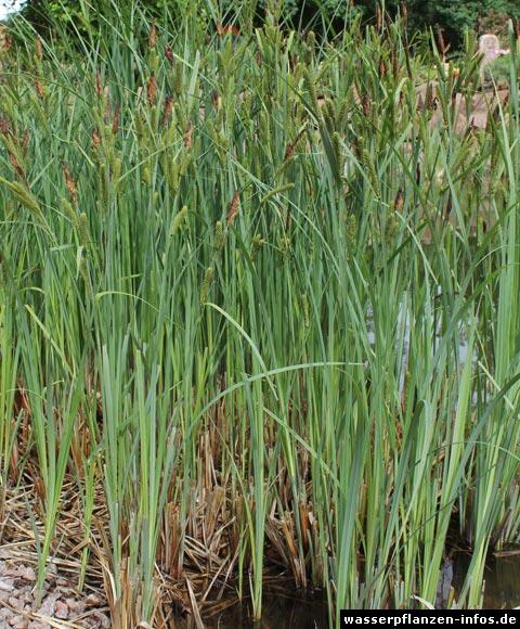 Sumpf-Segge